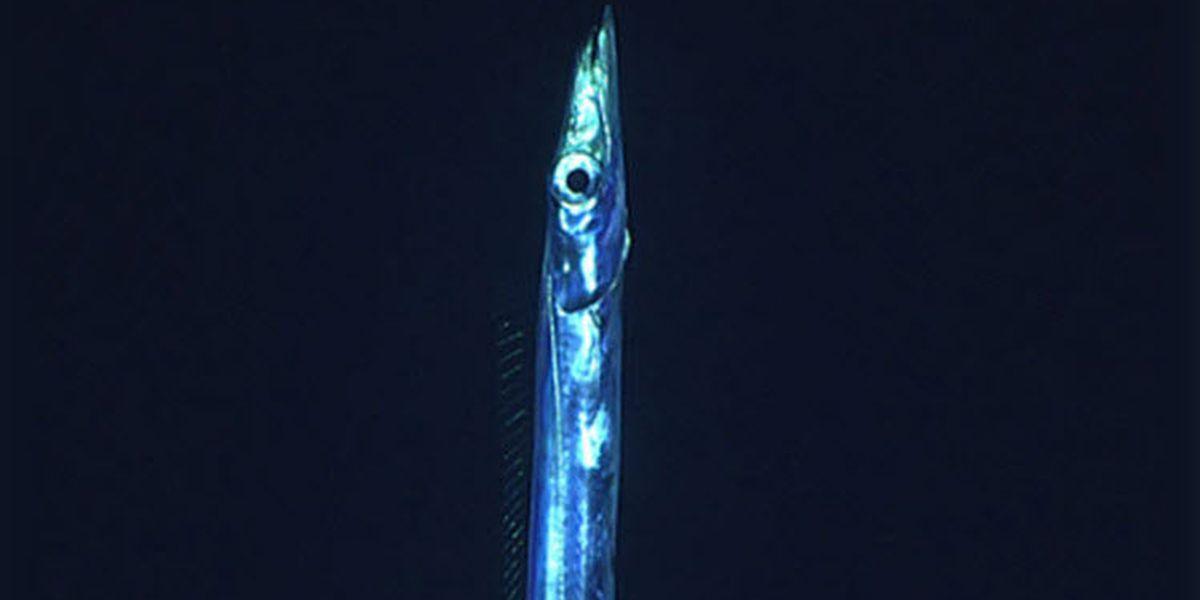 Long metallic fish resembling '80s sci-fi' creature seen hunting off Florida coast