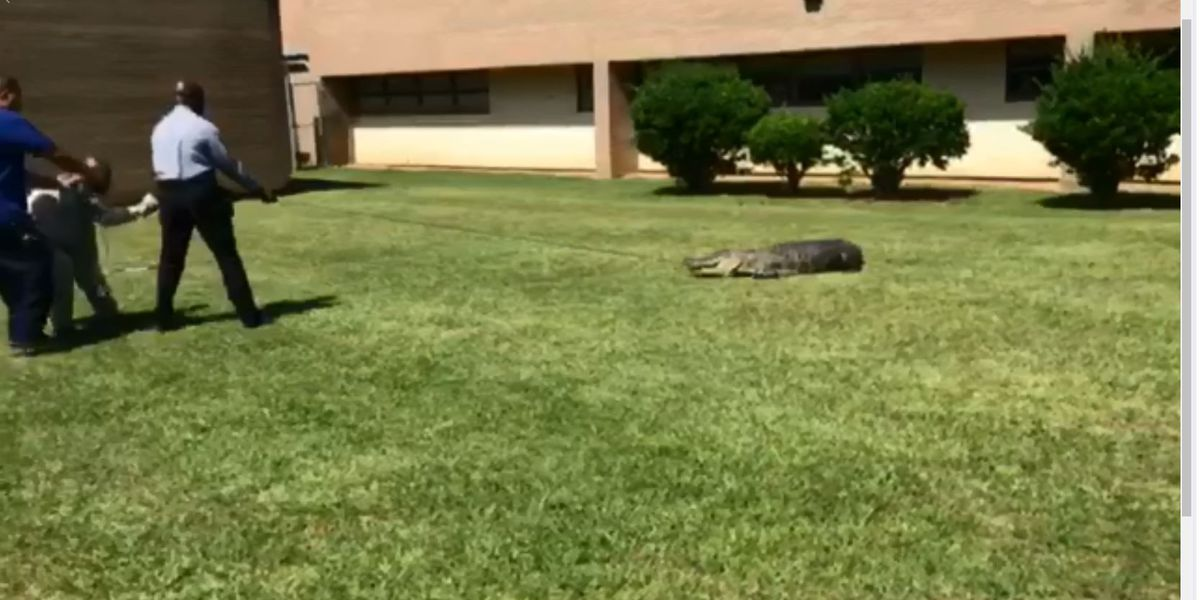 College students jeered at a dead alligator found in bushes on campus. It wasn't dead