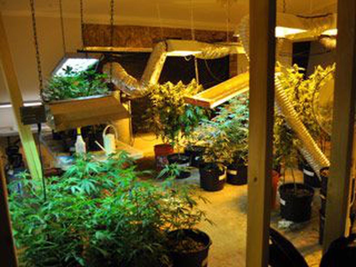 Detectives discovered a large-scale, highly sophisticated hydroponic  marijuana growing operation in the basement