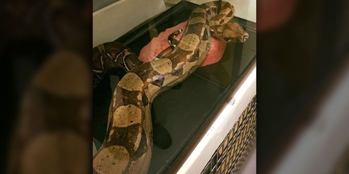 A 5-foot-long boa constrictor was found in a bed at this NC hotel