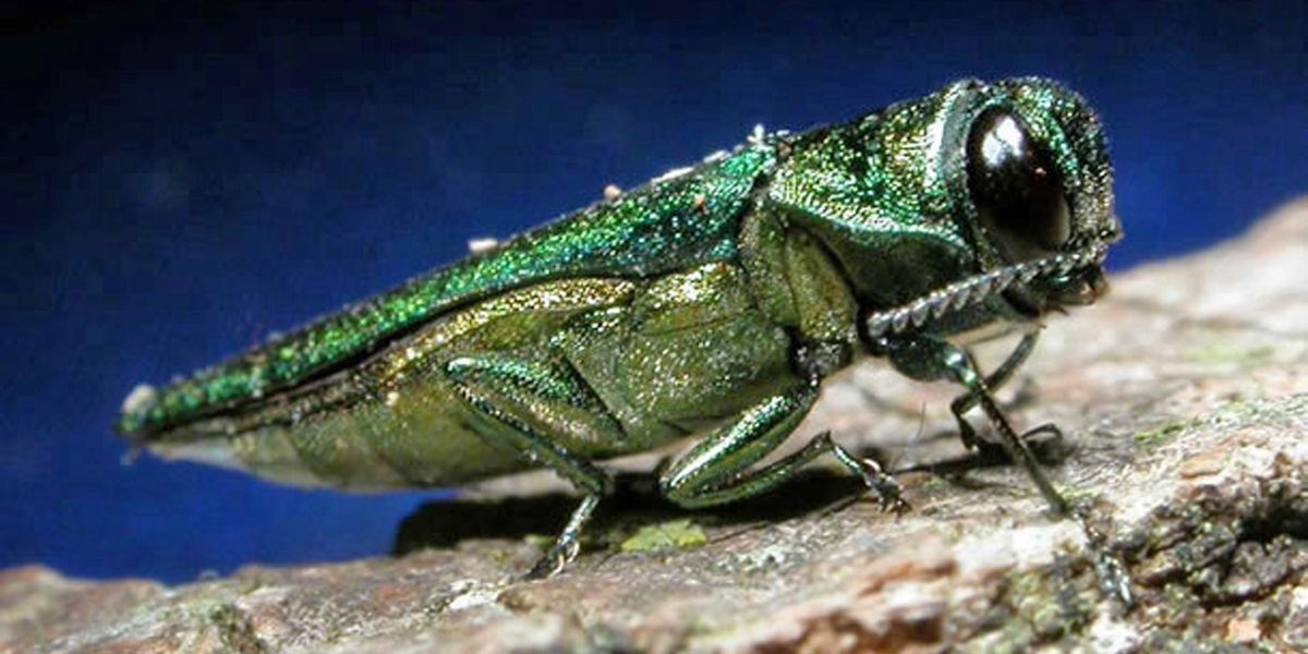 Signs of insect that has killed millions of trees found in Alexander County for first time