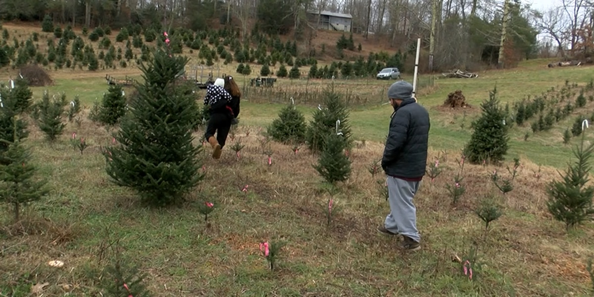 Some N.C. mountains choose-and-cut lots running out of Christmas trees