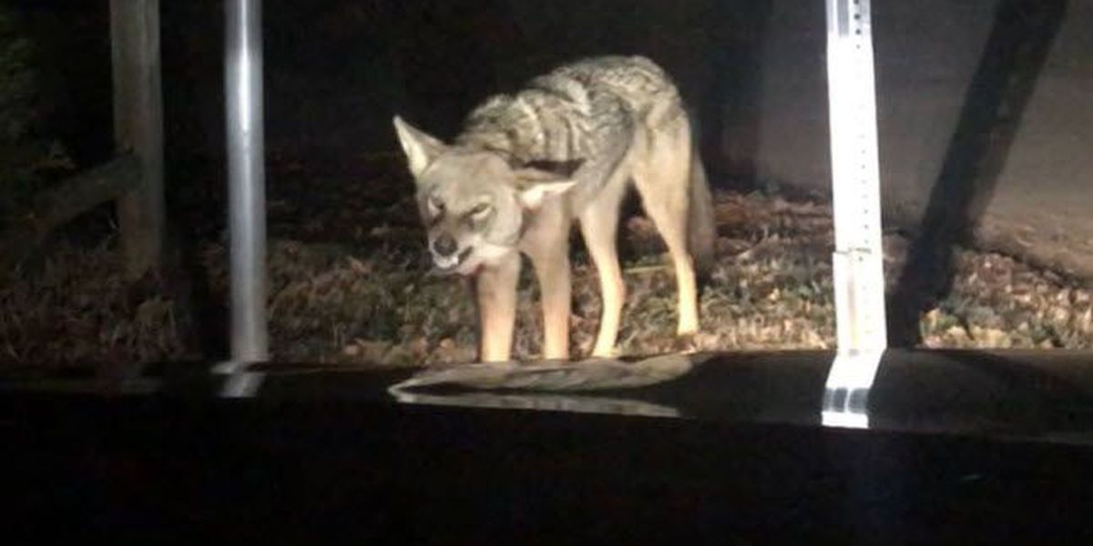 VIDEO: Coyote spotted growling at and attacking car in Huntersville