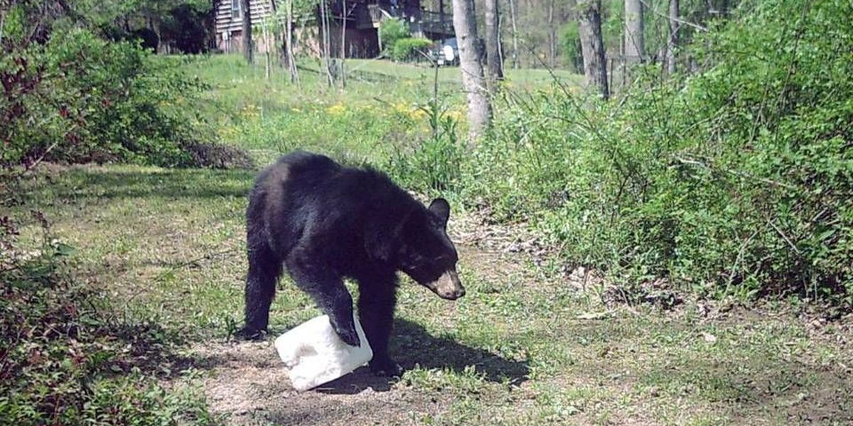Why bears in NC mountains aren't waiting for spring to emerge