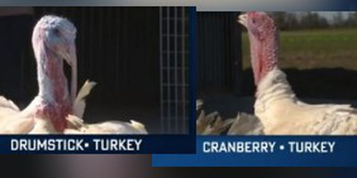 N.C. Gov. Cooper pardons turkeys - Cranberry and Drumstrick - ahead of Thanksgiving