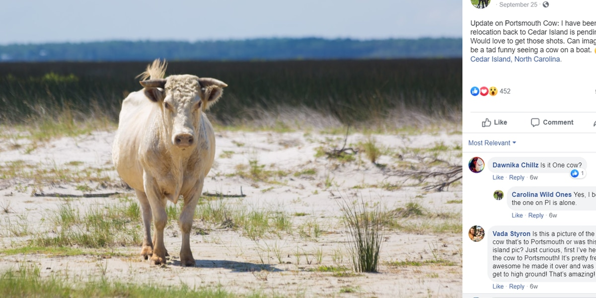 Cows swept out to sea by Hurricane Dorian are found months later - on the Outer Banks