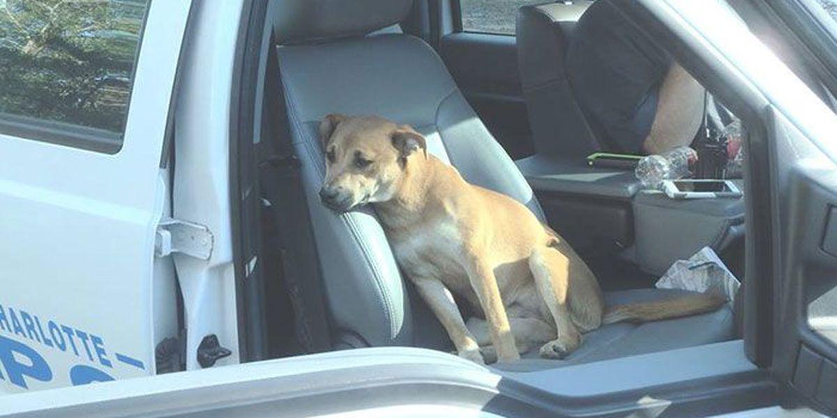 'Little brown dog' rescued after running behind CMPD truck during flood efforts
