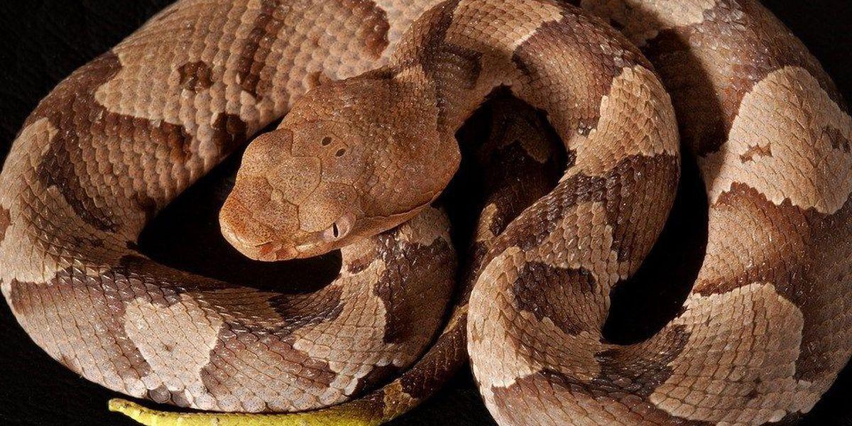 Mecklenburg County has had dozens of venomous snake bites since March, data shows