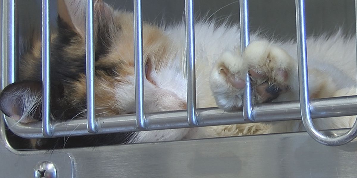Fosters needed for 100+ cats, kittens brought to Rowan Co. Animal Shelter, many already sick