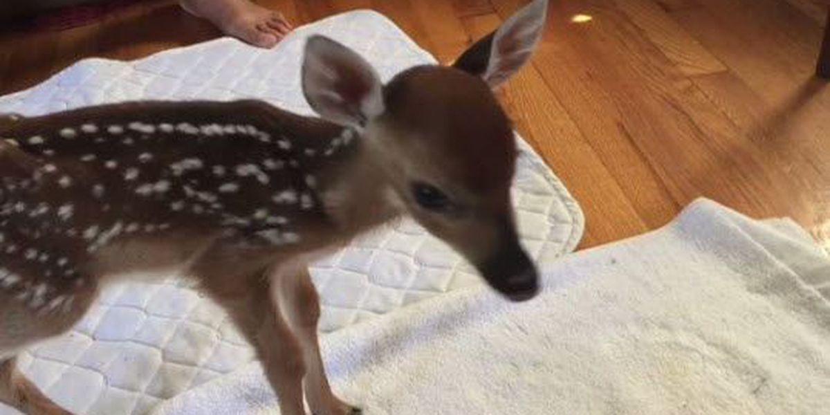 Wildlife rehabilitator taking care of 'smallest deer ever'