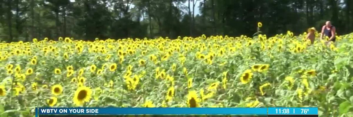 Formerly anonymous farmer of famed Waxhaw sunflowers calls fields a 'gift back to the community'