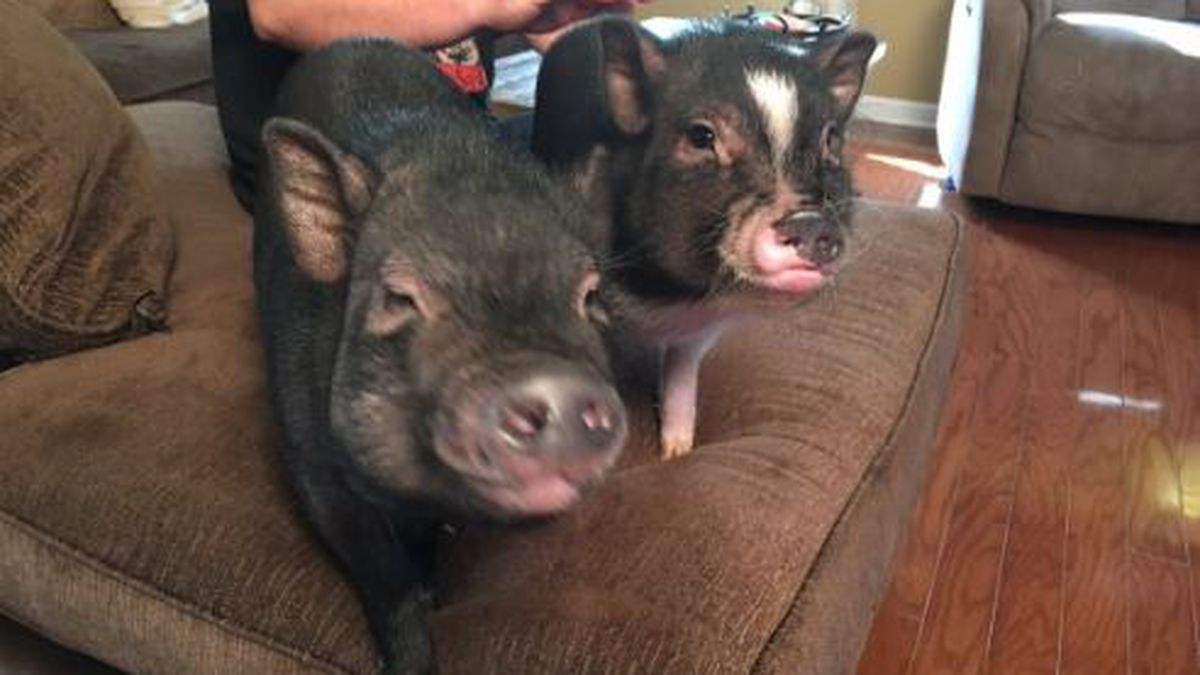Meet The Bacon Response Team: Therapy pigs training to create positive change in the community
