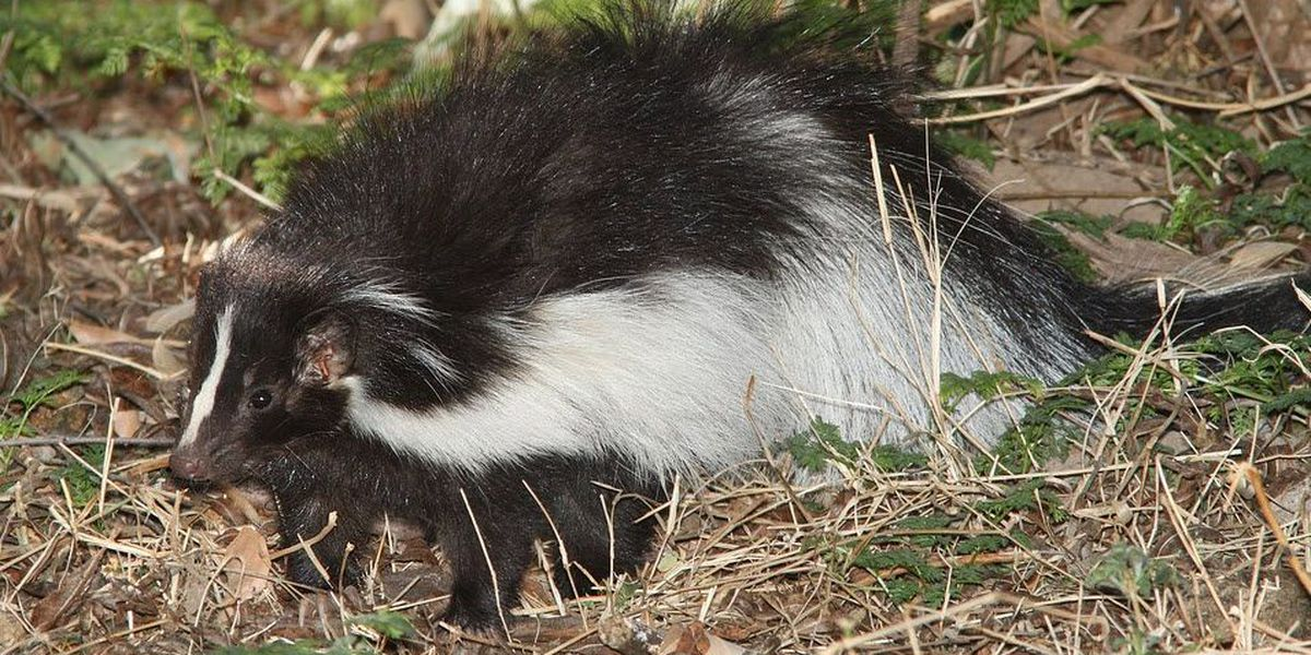 Man using smoke bomb to get rid of skunks destroys home