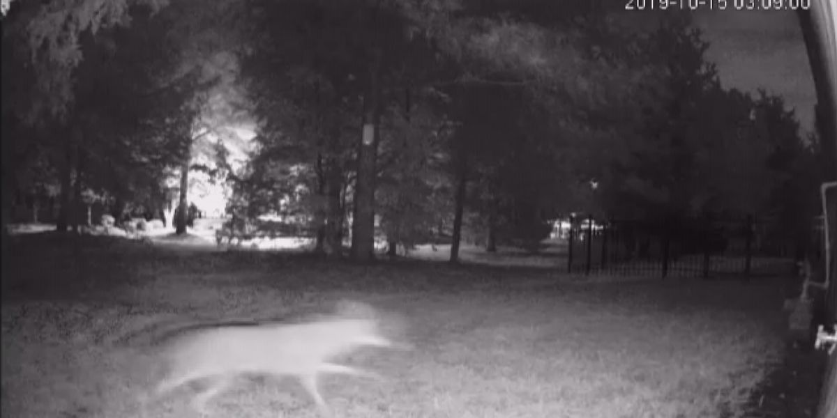 Union County homeowner says surveillance camera captured coyote chasing cat