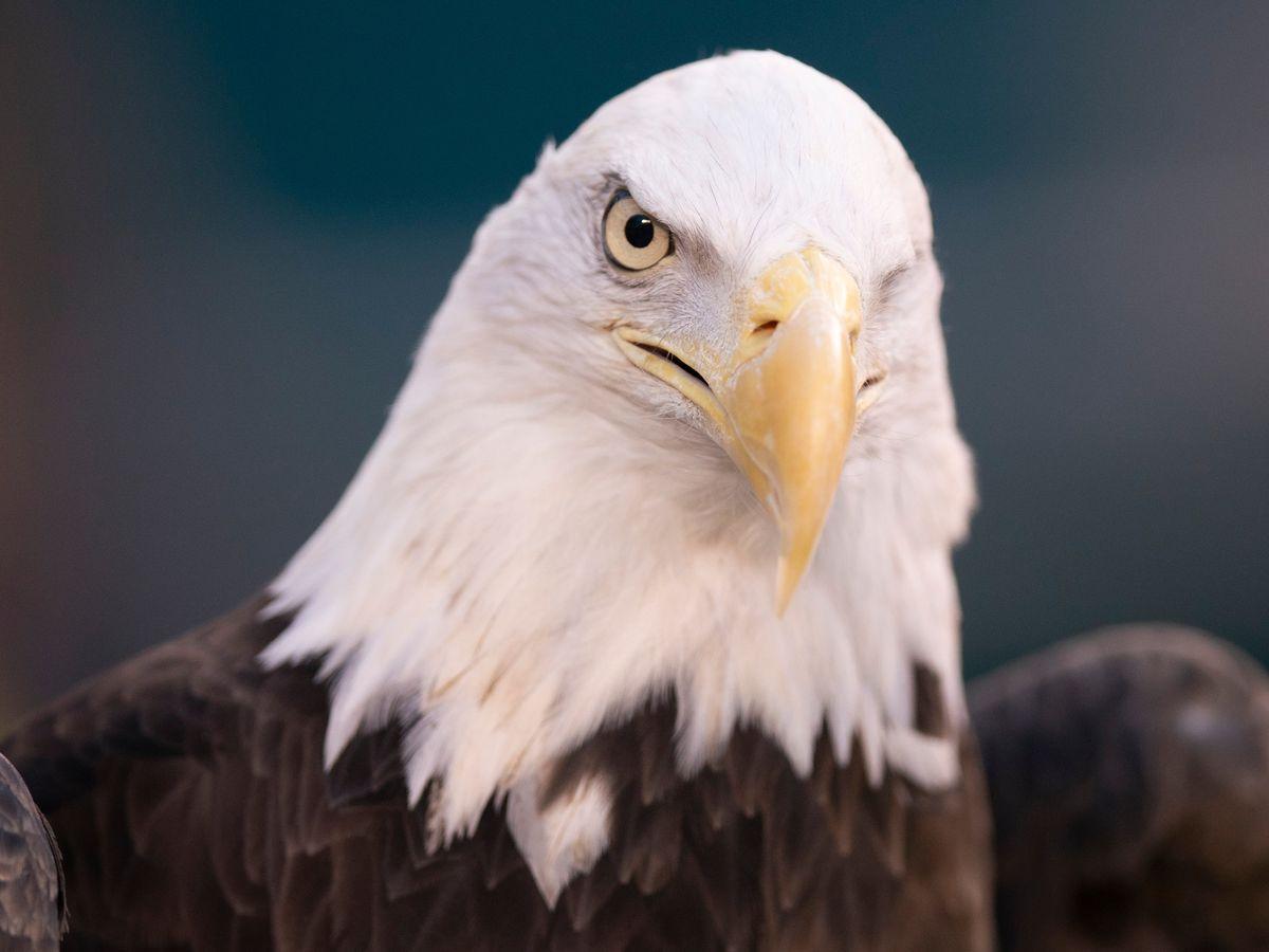 Wildlife officials accuse North Louisiana man of killing bald eagle