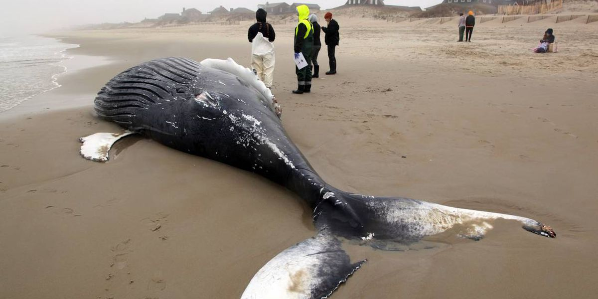 Massive dead whale washes onto Outer Banks beach, photos show. What happens to it now?