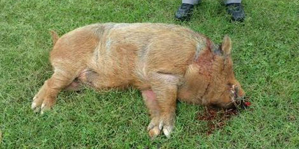 Neighbors worry about wildlife after hog killed in Gaston Co neighborhood