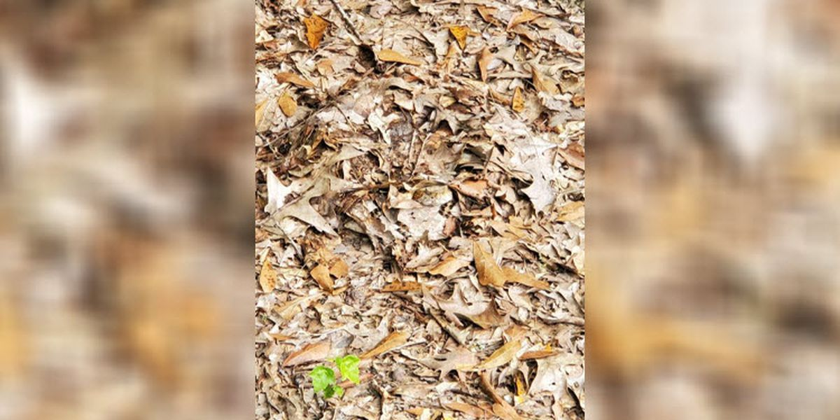 Do you see a rattlesnake in this photo? It's staring at you, Alabama officials say