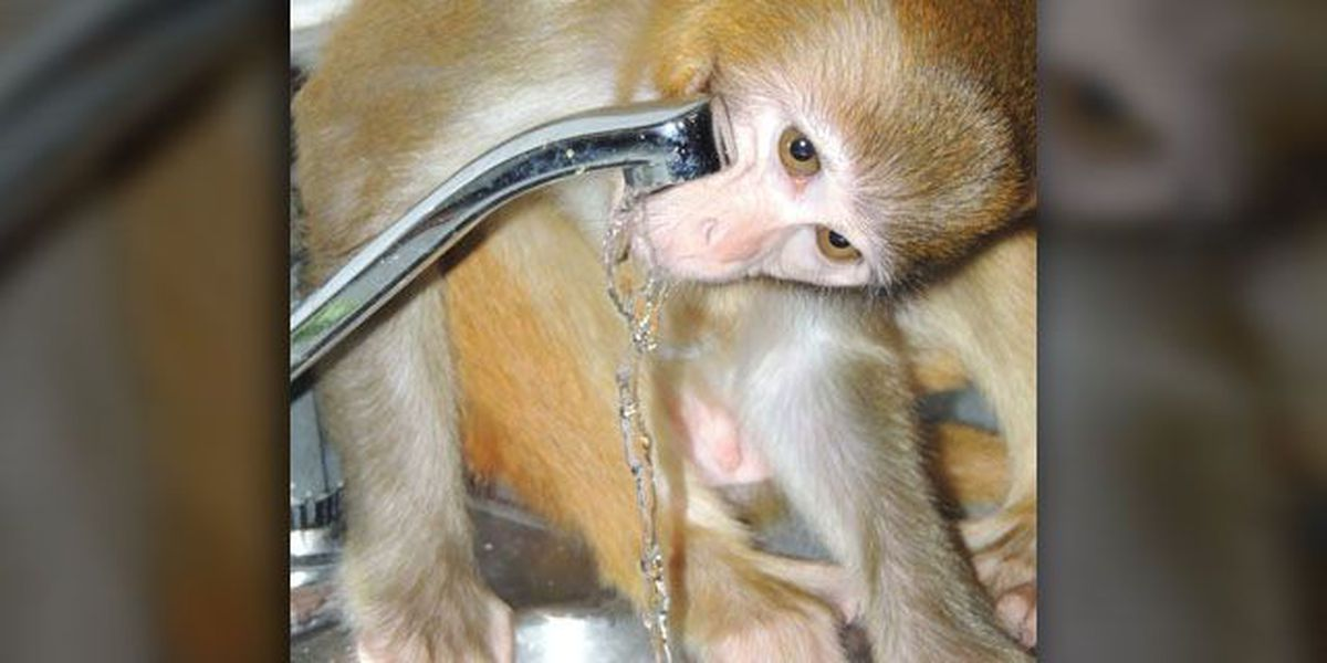 Monkey who escaped, bit hospital employee to move to primate sanctuary