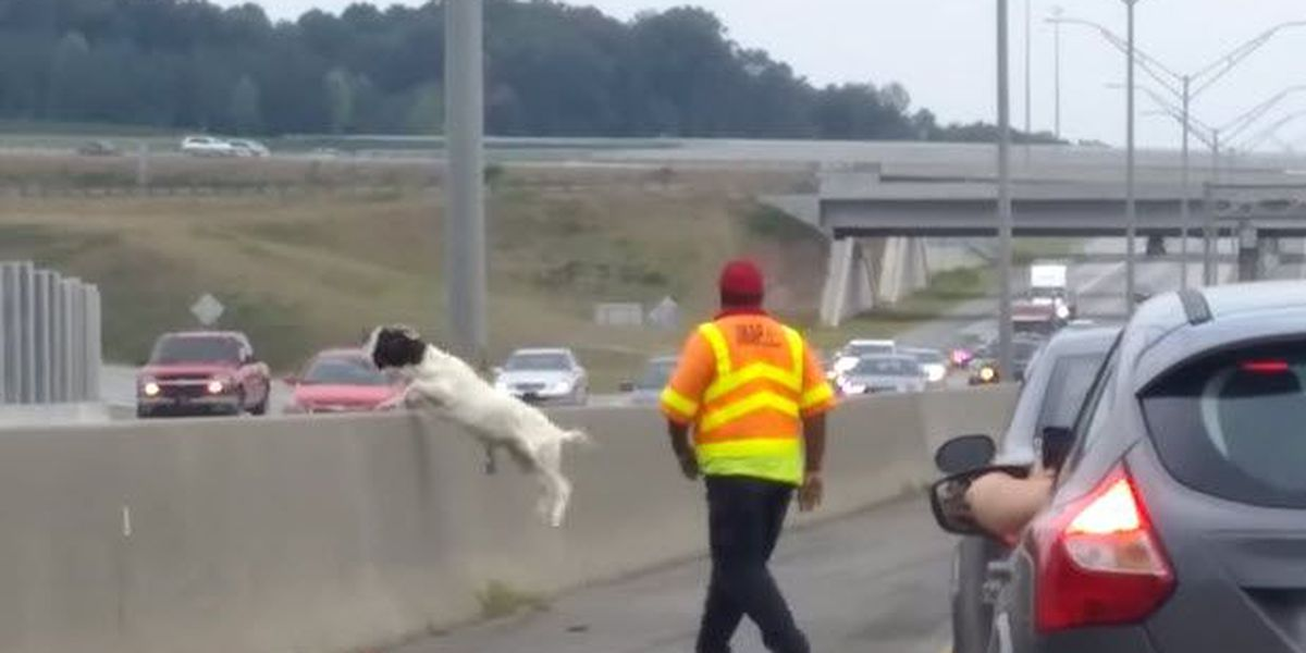 Goat causes traffic problems on I-85 during rush hour