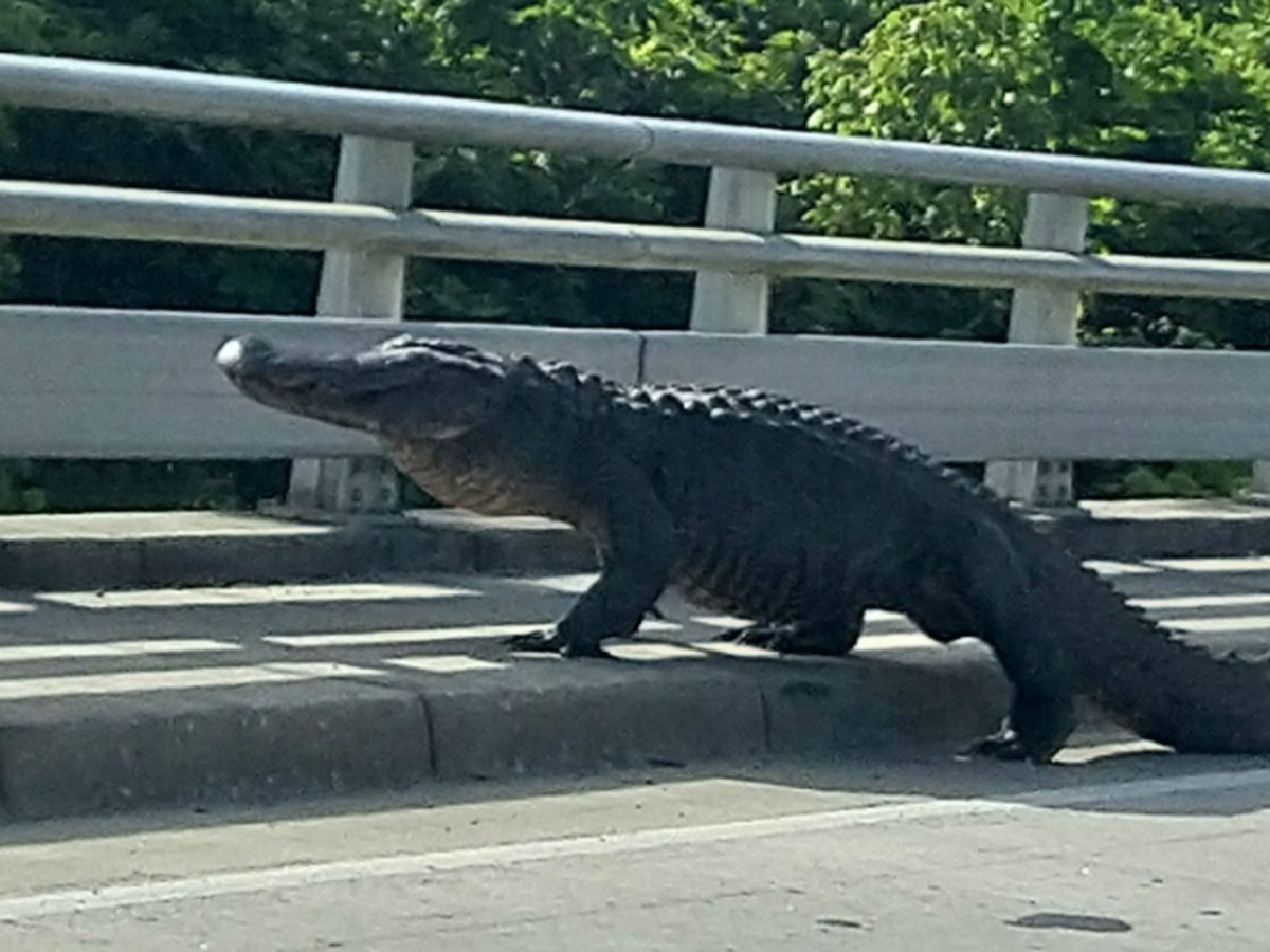 Massive gator spotted taking stroll near Wilmington overpass