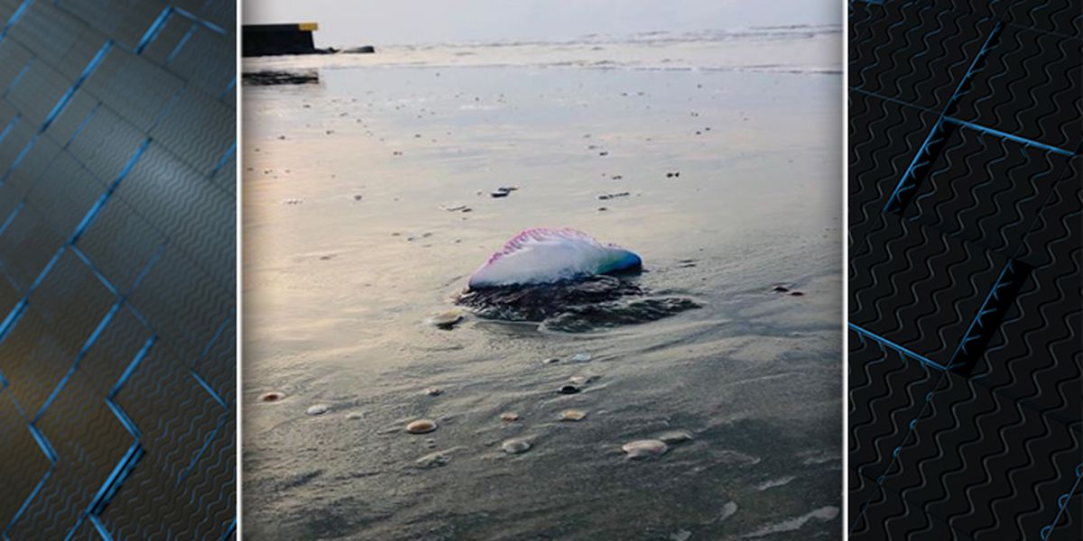 Officials issue warning after Portuguese man o' war sightings at Lowcountry beaches