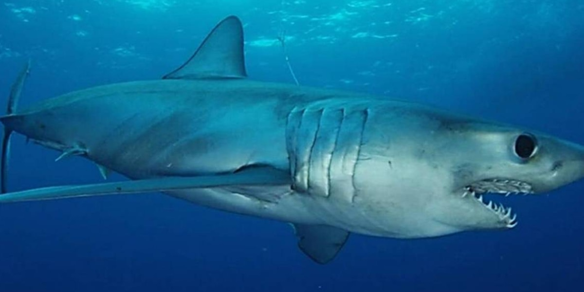A 255-pound 'apex predator' mako shark is hunting the waters off NC's Outer Banks