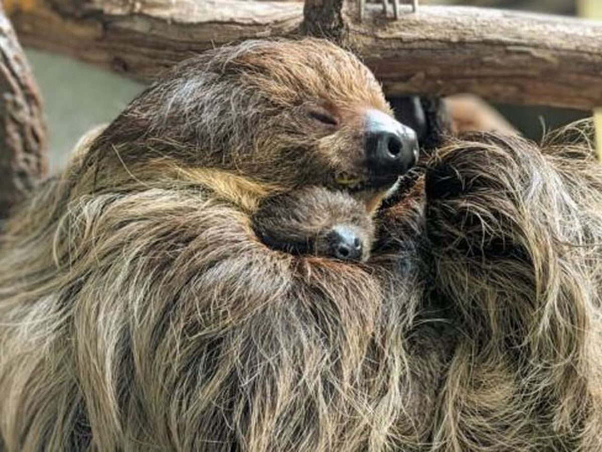 The Virginia Zoo holding naming auction for baby sloth
