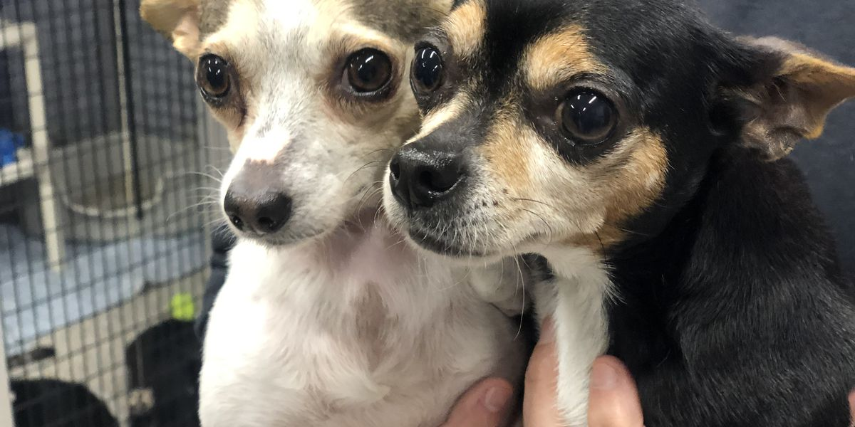 4 Chihuahuas thrown over 9ft fence at SPCA in Sumter, only 2 survive