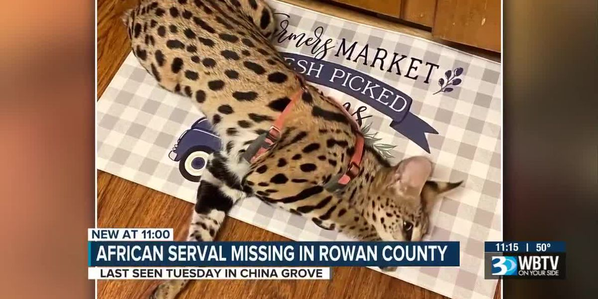 African serval missing in Rowan County