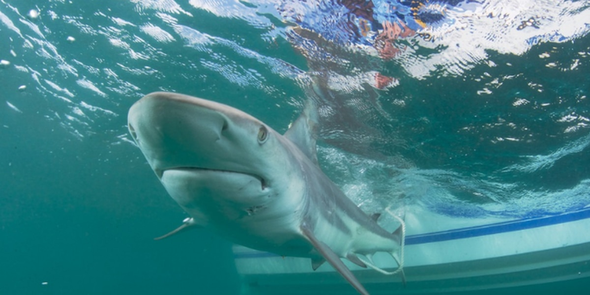 Just in time for Spring Break, experts say more sharks are wintering off Carolinas
