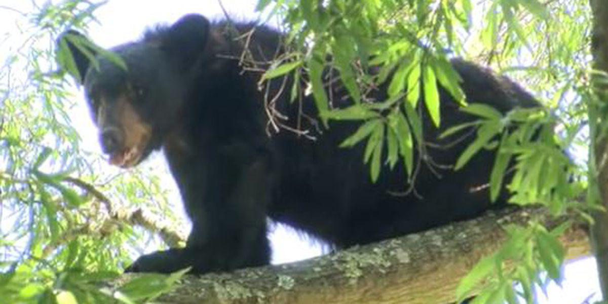 Bear scales tall tree in Mooresville after being hit by vehicle