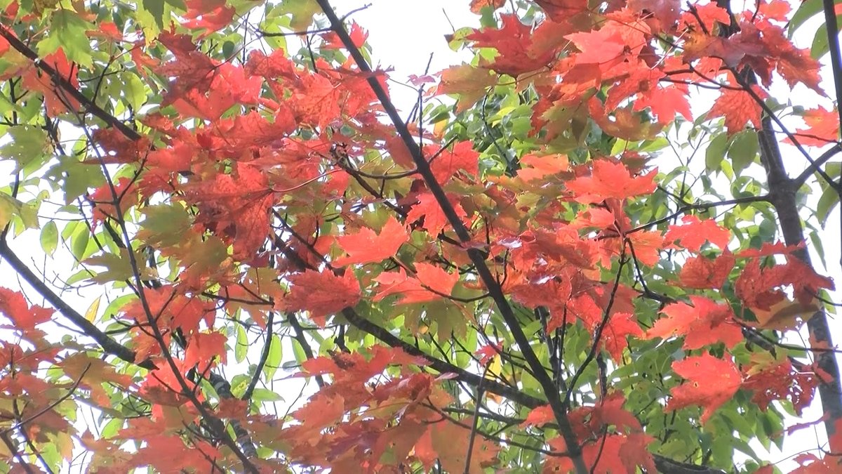 Fall colors stymied by weather but finally starting
