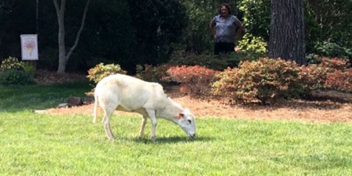 Sheep missing from Huntersville possibly captured in Lincoln County