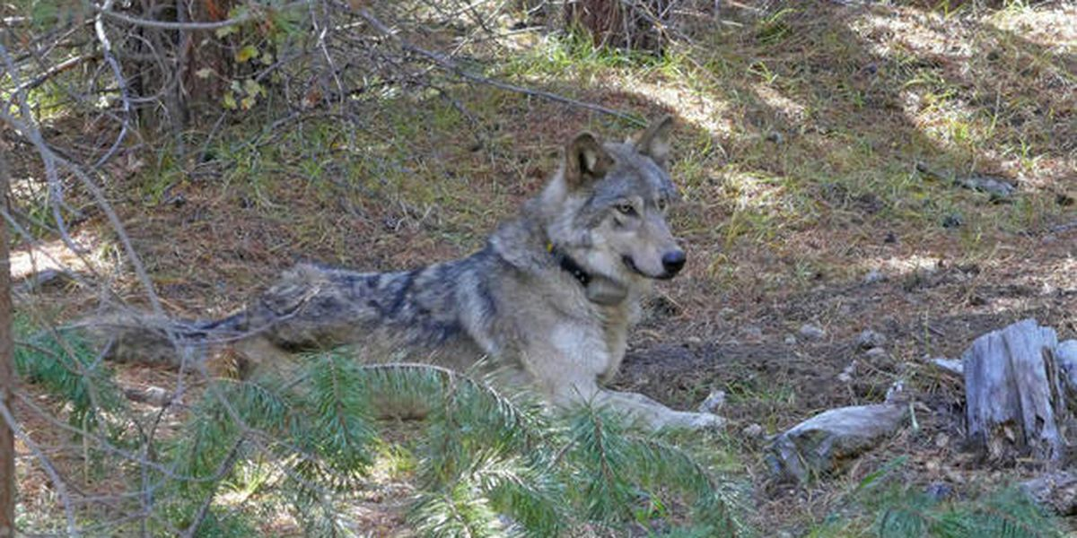 Endangered gray wolf that wandered 8712 miles found dead