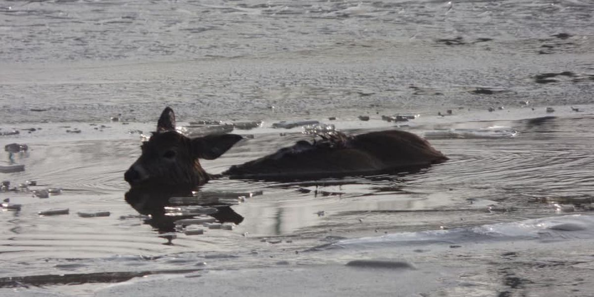 New York firefighters rescue deer from icy river