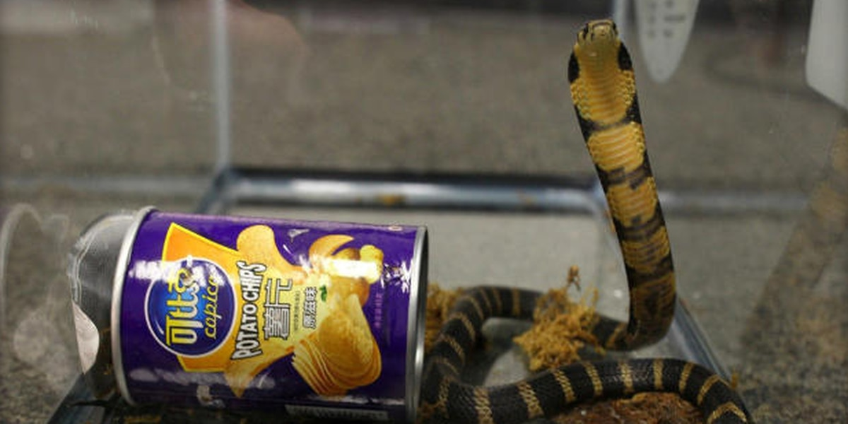King cobra snakes found hidden inside mailed potato chip cans