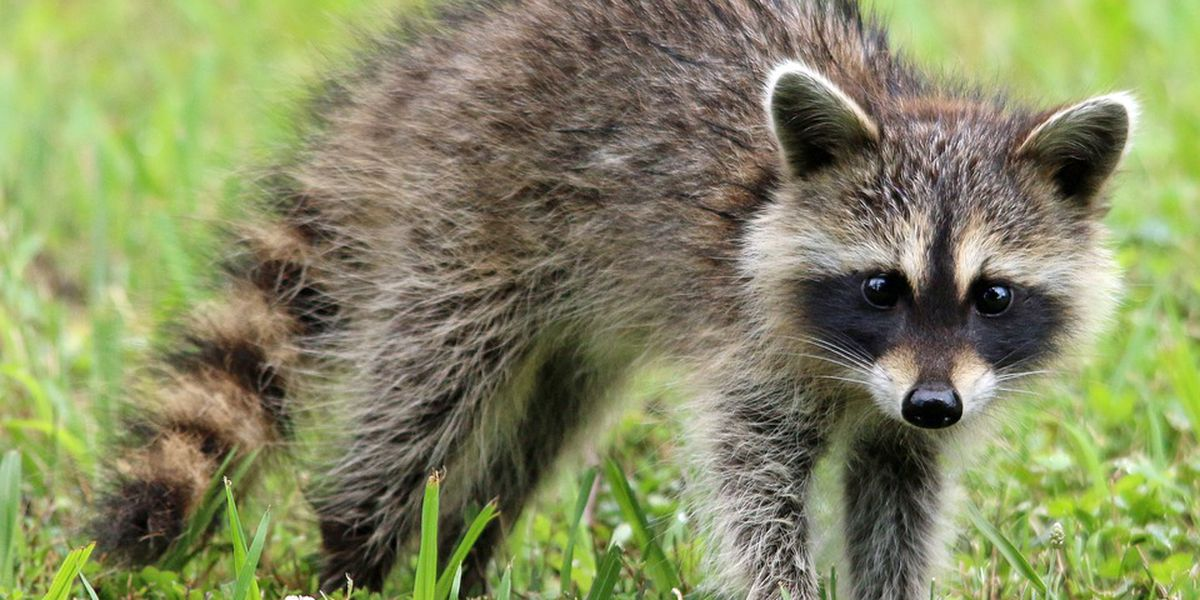Raccoon tests positive for rabies after attacking dogs in south Charlotte neighborhood