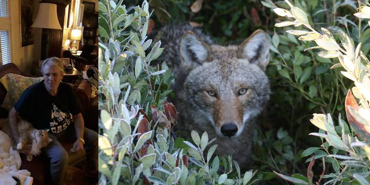 'Murdered by a coyote.' State and local officials respond to pet deaths in Charlotte