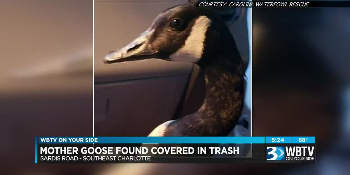 Mother goose found 'clinging' to lifeless eggs given orphaned goslings to care for